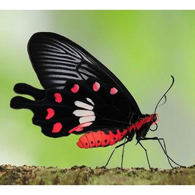 Бабочка Pachliopta aristolochia