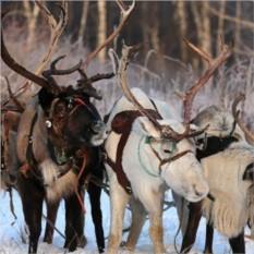 Экскурсия к северным оленям + хаски (2 взрослых + 2 ребенка)