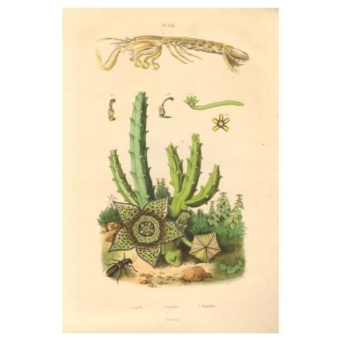 Гравюра «Виды суккулентных растений»