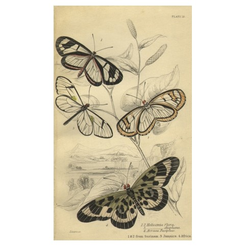 Гравюра «Бабочки Суринама, Ямайки, Африки»