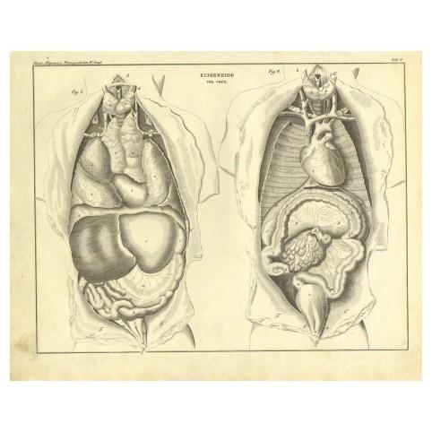 Старинная гравюра «Анатомия человека»