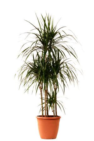Драцена «Каррузель» — комнатное растение