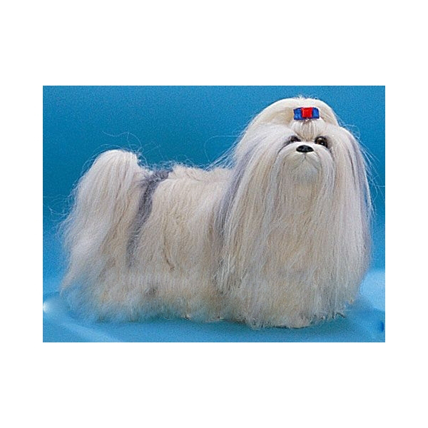 Собака «Шитцу»