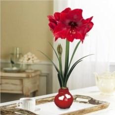 Луковица красного Амариллиса