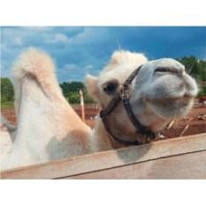 Подарочный сертификат Катание на верблюде