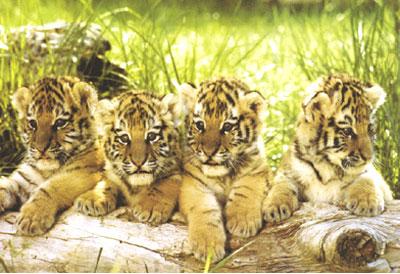 Постер: Тигры