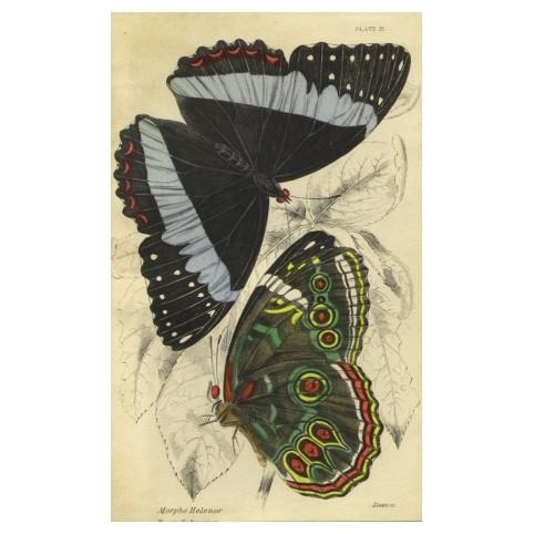 Гравюра «Южноамериканские бабочки рода морфид»