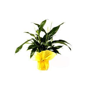 Спатифиллум — комнатное растение