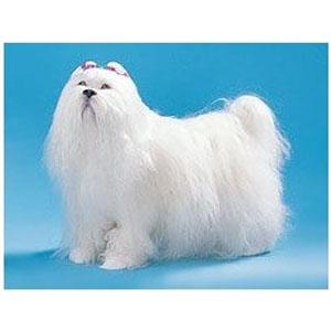 Собака XL Мальтез