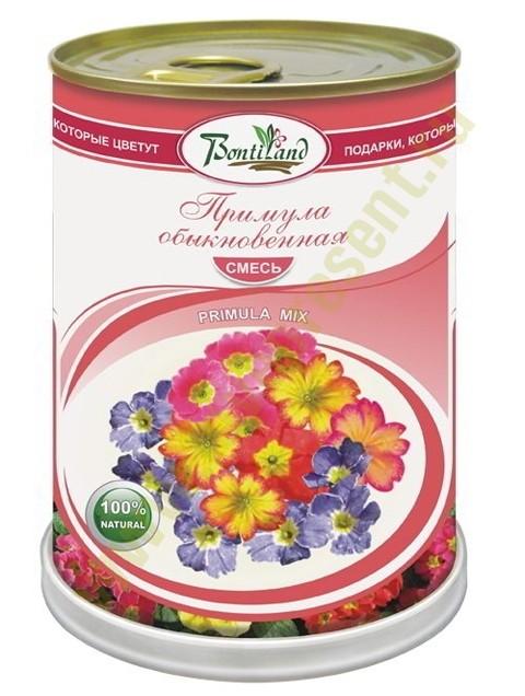 Цветок в банке Примула обыкновенная