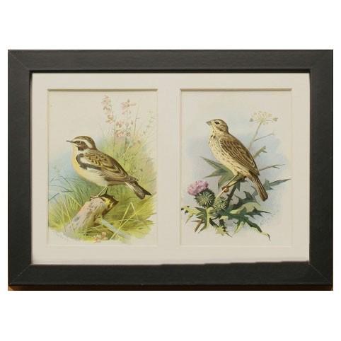 «Дикие птицы: овсянка обычная и чекан луговой»
