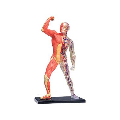 Модель скелета с мышцами