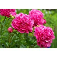 Набор для вышивки стразами «Сад пионов»