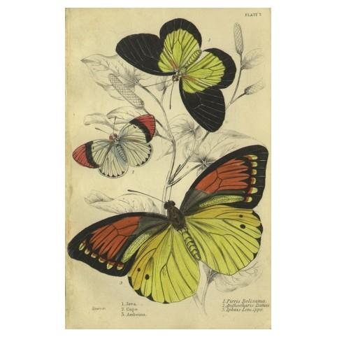 Гравюра «Бабочки Ост-Индии и Явы»