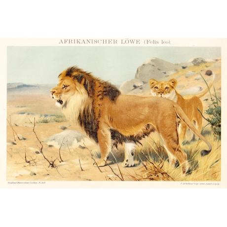 Литография «Африканский лев»