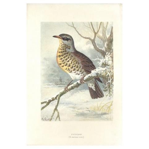 Гравюра «Птицы: рябинник»