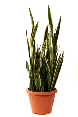 Сансевиерия — комнатное растение