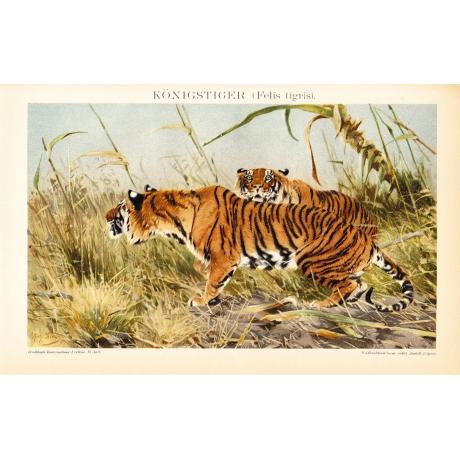 Литография «Индийские тигры»