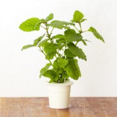 Картридж для выращивания Мелисса для умного сада