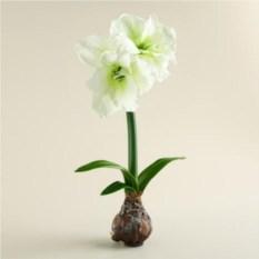 Луковица белого Амариллиса