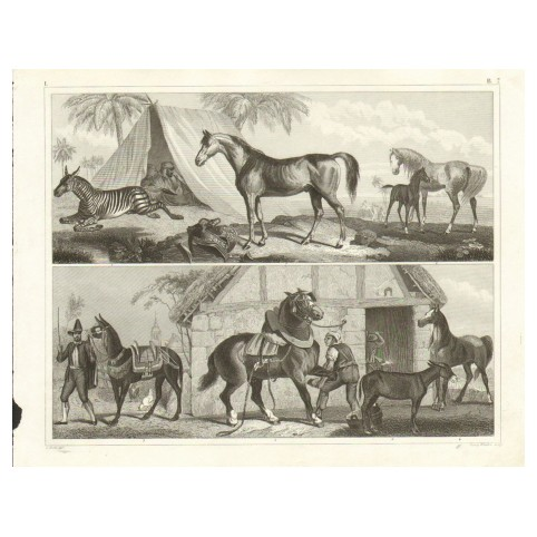 Гравюра «Арабский жеребец, зебра и мул»