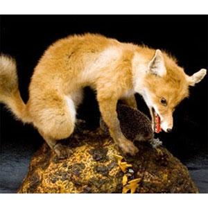 Охотничий трофей «Лиса с ежом»