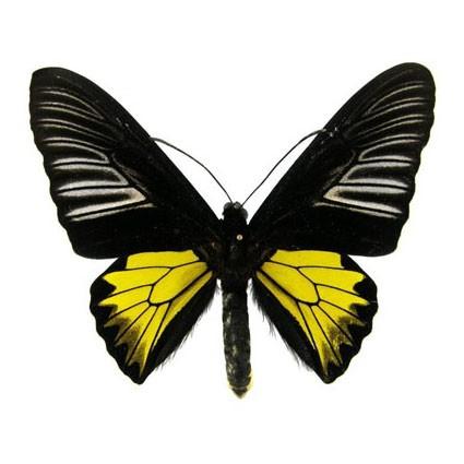 Бабочка Troides rhadamantus