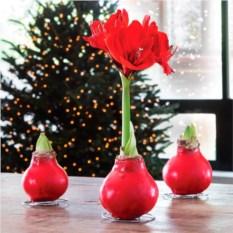 Луковица Амариллиса Happy bulb