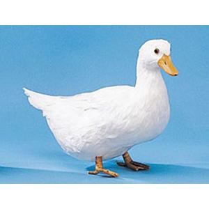 Утка белая