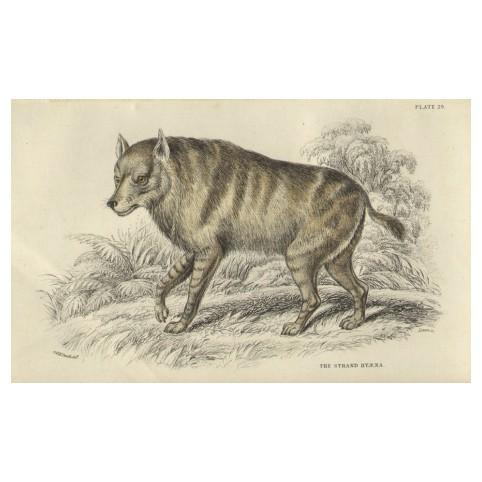 Гравюра «Береговая гиена»