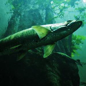 Подарочный сертификат «Рыбалка на судака»