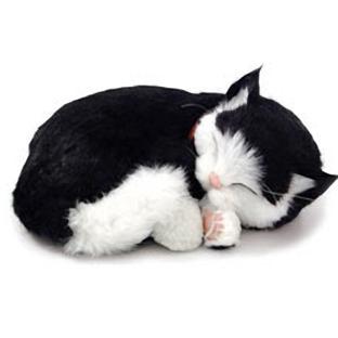Спящая сиамская кошечка