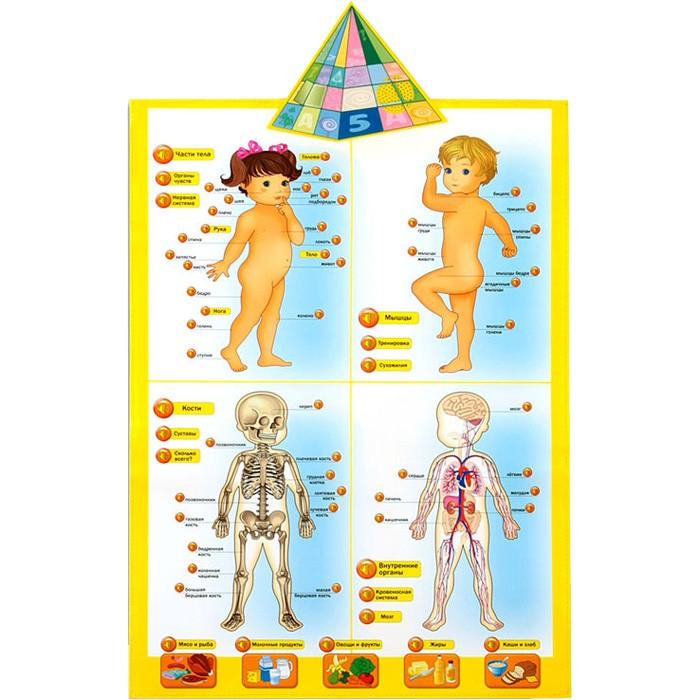 Электронный звуковой плакат Говорящая анатомия