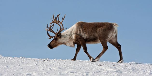 Сертификат Экскурсия к северным оленям и ездовым хаски