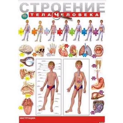 Плакат «Строение тела человека»