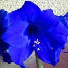 Луковица синего Амариллиса